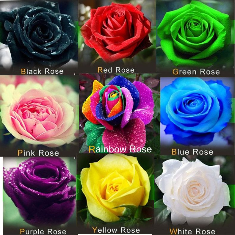 450pcs pack mix colors semillas de rosas red green yellow for Green colour rose images