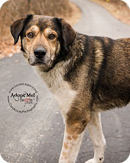 Cincinnati Oh Anatolian Shepherd Great Pyrenees Mix Meet Manny