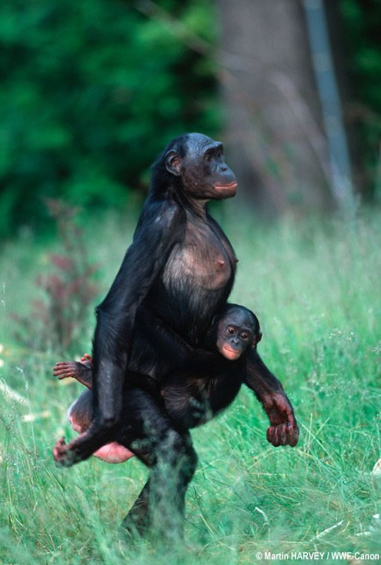 This is a monkey called a Bonobo. slimmer than the chimpanzee, and it walks  very naturally upright. Not only upright but it sure looks comfortable on  two ...