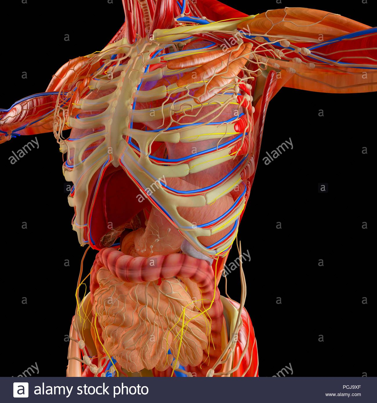 Human Anatomy Internal Organs Pictures Human Anatomy Drawing