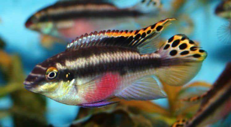 Pelvicachromis Pulcher The Purple Cichlid Aka The Kribensis Cichlids Tropical Fish Fish Pet
