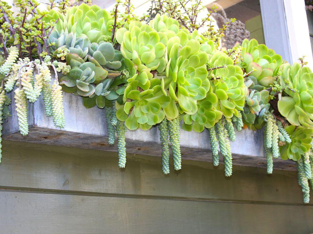 Consejos para suculento de jardinería en cajas de la ventana | Mundo de las suculentas