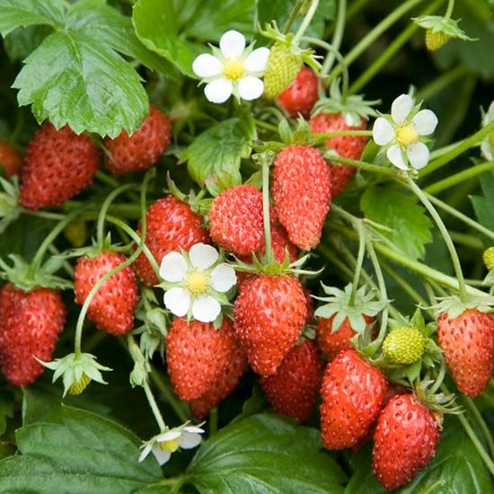 Strawberry plants, Strawberries and Plants on Pinterest