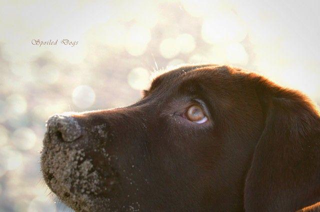 Happy Birthday Gavroche Dog Portraits Happy Birthday Chocolate Lab