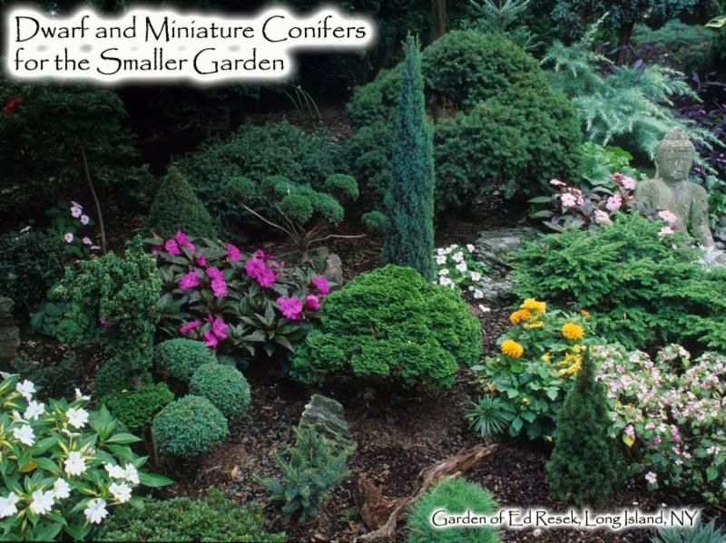 Dwarf and Miniature Conifers for the Smaller Garden ...