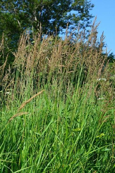 Prairie Moon Nursery Seeds Calamagrostis Canadensis Blue Joint Gr