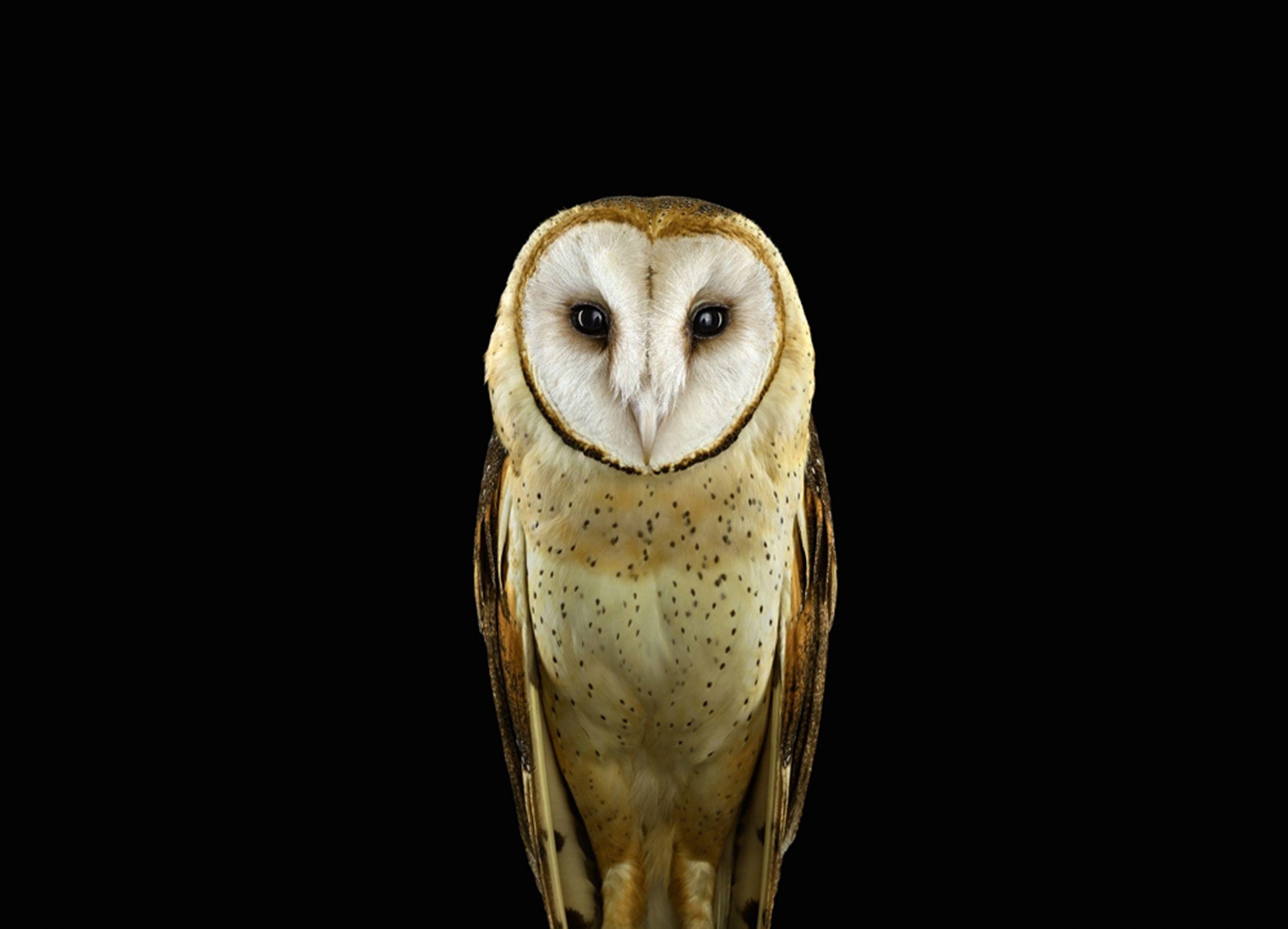 Incredible Studio Portraits Of Wild Animals By Brad Wilson: Pet Portraits, Barn Owl, Barn