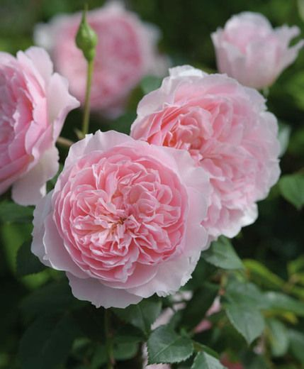 Wisley 2008 Rosa English Rose David Austin Zone 5 9 Ht 4 5 Ft 3 4 W Continuous Bloom Fragrant David Austin Roses Austin Rose Shrub Roses