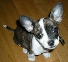 Chihuahua French Bulldog Mix Google Search Chihuahua Mix