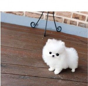 genuine teacup pomeranian puppies.text ... #teacuppomeranianpuppy
