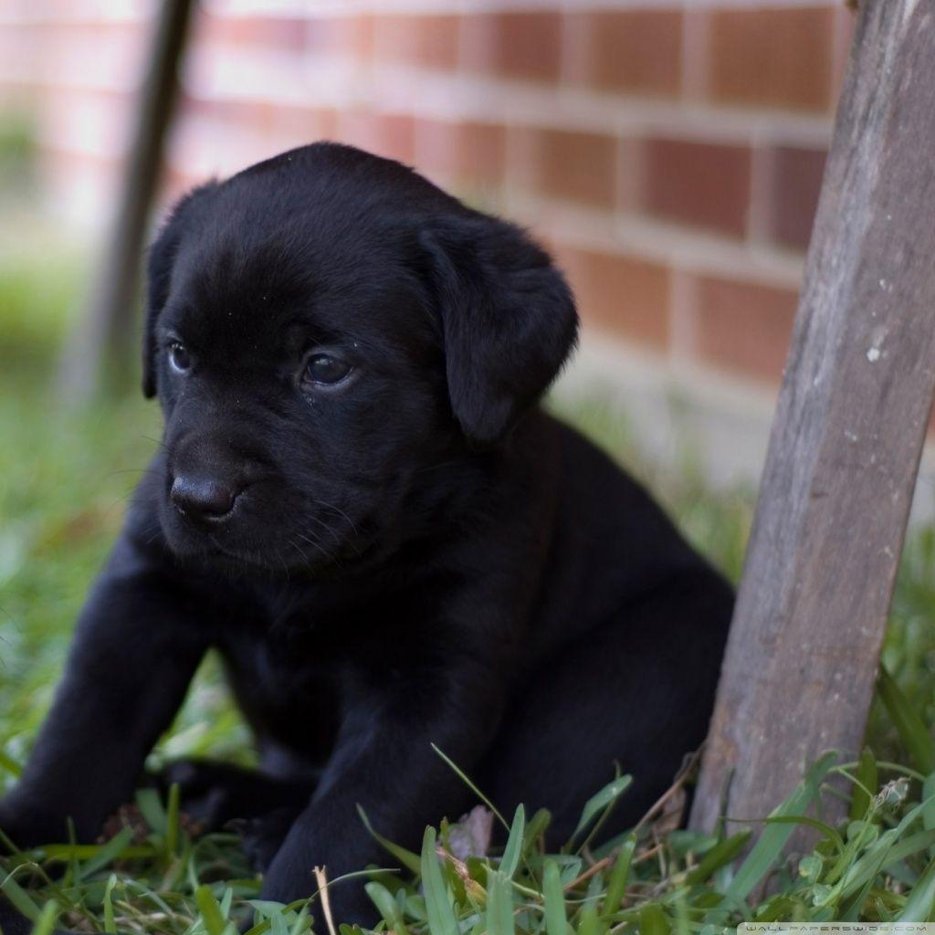 Cute Black Labrador Puppies Hd Wallpaper Desktop Wallpapers