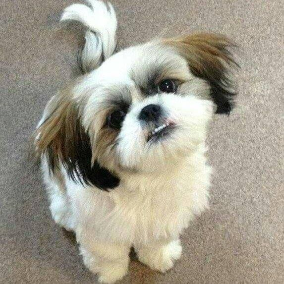 Pin By James Hazen On Dogs Shih Tzu Shih Tzu Dog Puppies For Sale
