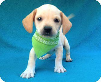 Burbank Ca Chihuahua Meet Iggy A Puppy For Adoption