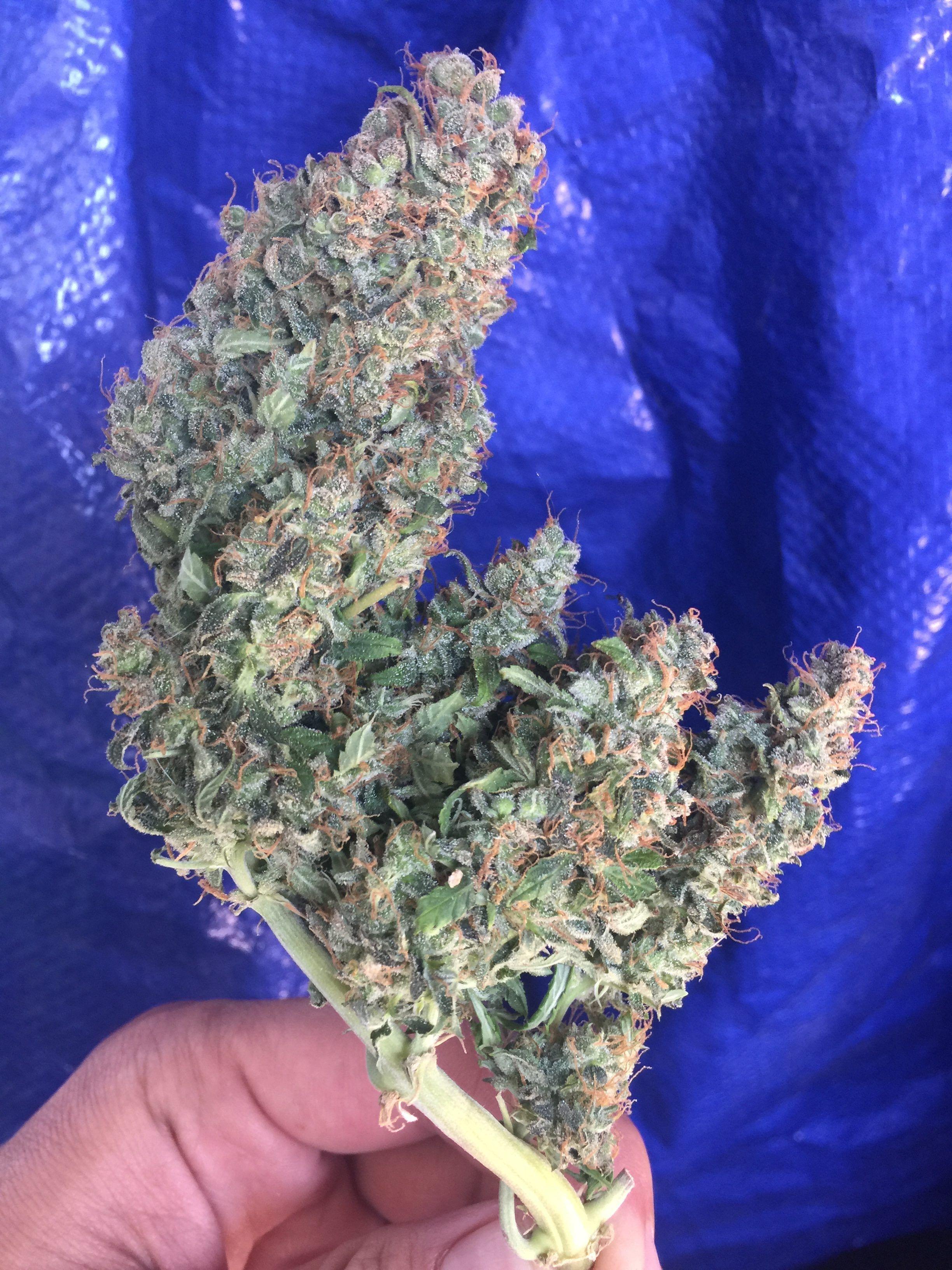 Hindu Kush Autoflower Grow Journal, Micro grow - Harvest