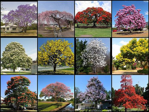 Most Beautiful Flowering Trees Close Up Flowering Trees Beautiful Tree Jacaranda Tree