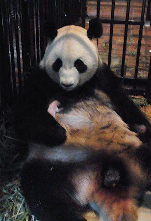 赤ちゃんパンダを抱く「シンシン」