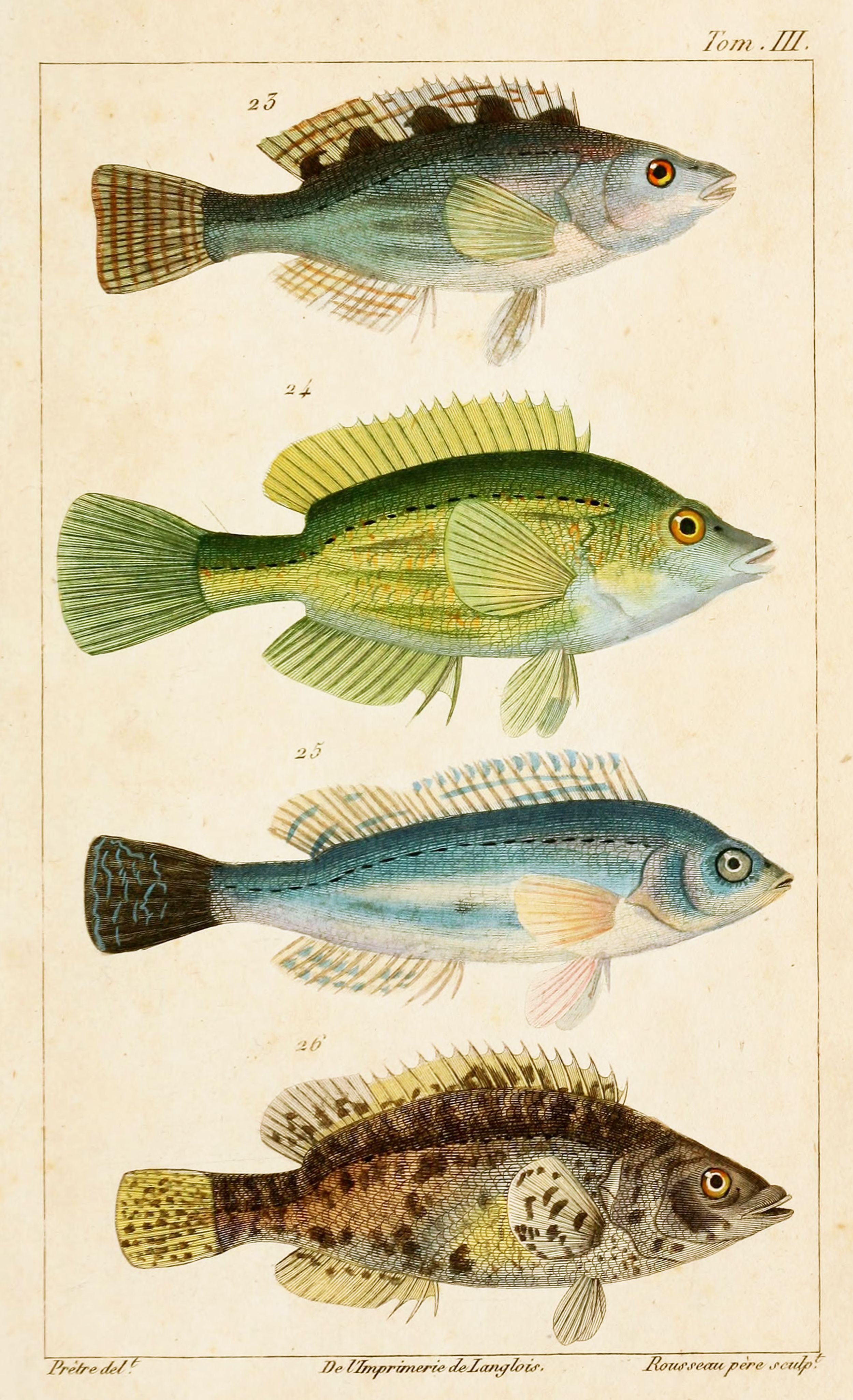 Wrasse Fish Zoological Illustrations By J G Pretre Circa 1826 Fish Illustration Fish Drawings Fauna Illustration