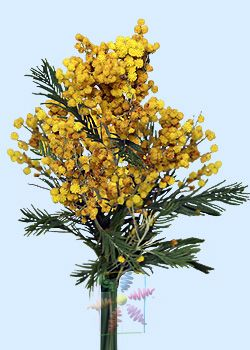 Yellow Acacia Flower Shop Network Winter Flowers Birth Month Flowers
