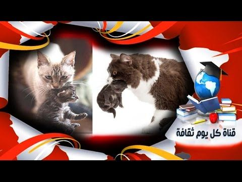 السبب وراء حمل القطة ولدها بفمها نلاحظ أن القطط تقوم على حمل أبنائها من الرقبة هل تعلم لماذا Cats Animals