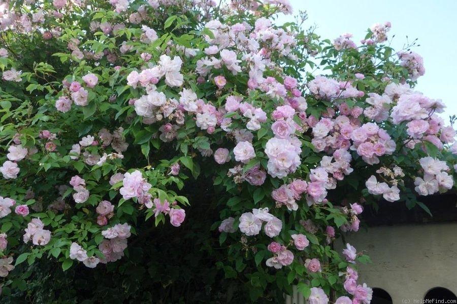 'Narrow Water ' Rose Photo   Rose photos Rose Photo