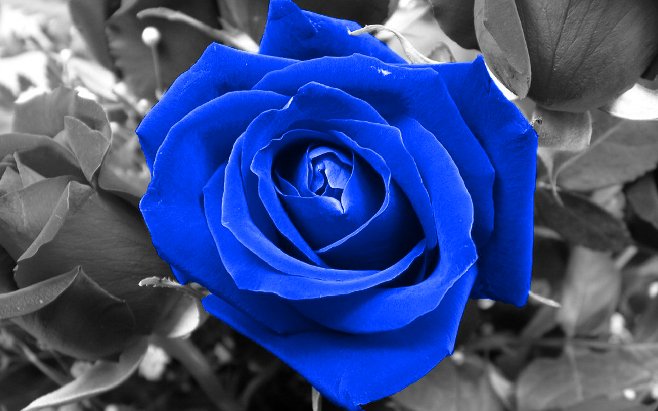 Blue Nature Flowers Selective Coloring Roses Blue Rose 1280x800 Wallpaper Blue Roses Wallpaper Blue Flower Wallpaper Blue Roses