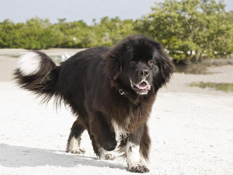 Dog Breeds With the Shortest Lifespans Off leash dog
