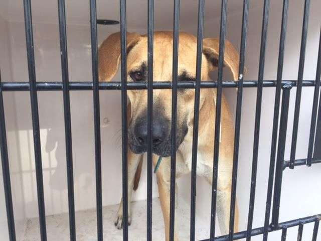 12/29/16 - HOUSTON HIGH KILL FACILITY IS OVER CAPACITY!! - This DOG - ID#A474568 I am a female, brown and white Labrador Retriever mix. My age is unknown. I have been at the shelter since Dec 27, 2016. This information was refreshed 13 minutes ago and may not represent all of the animals at the Harris County Public Health and Environmental Services.