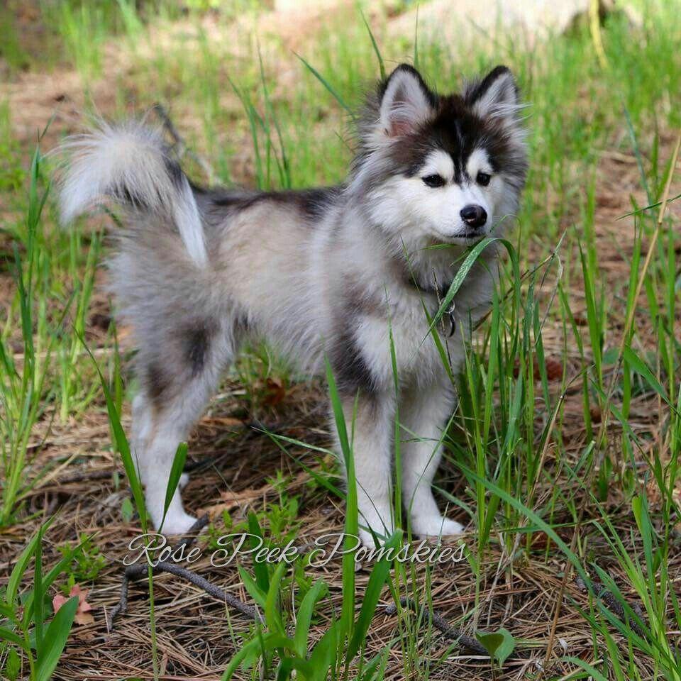 Half Husky Half Pomeranian = Mini Husky!! 5 month old