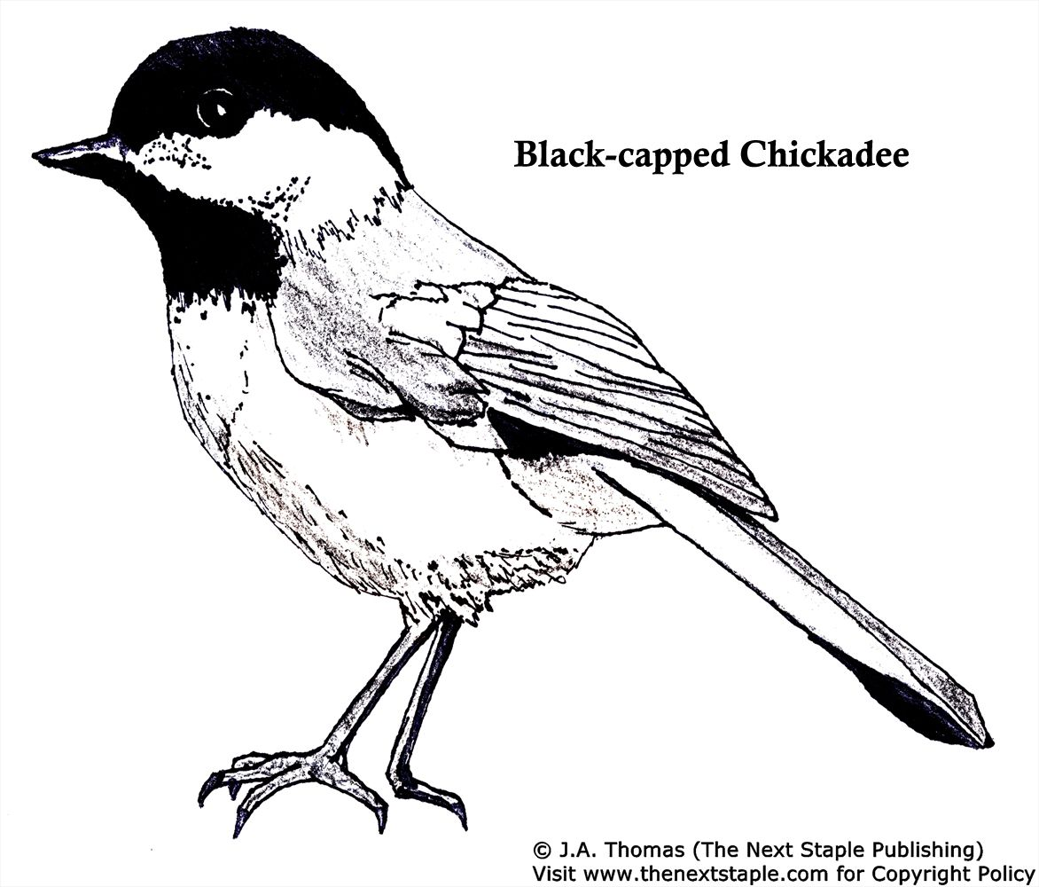 Black Capped Chickadee Illustration Bird Coloring Pages Coloring Pages Chickadee Illustration