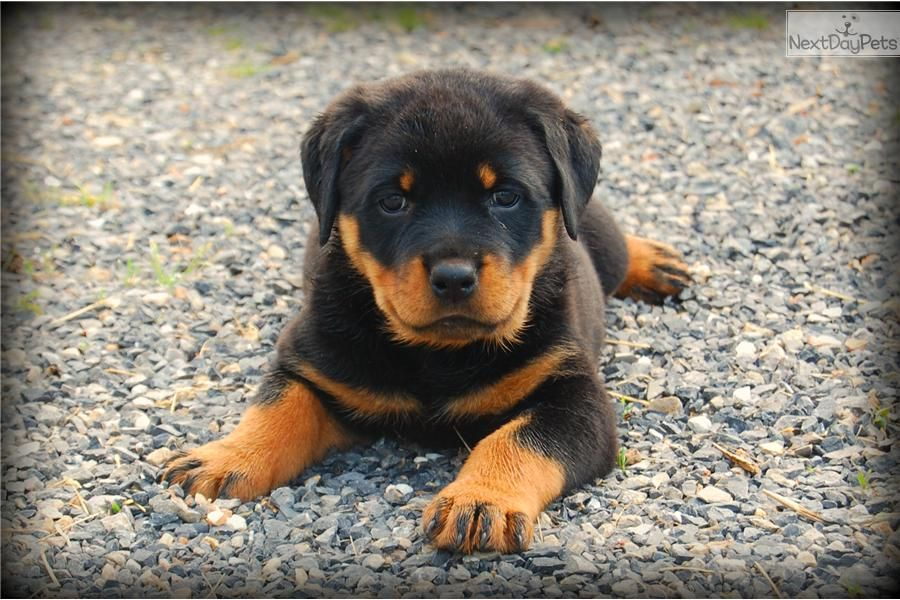 Meet Abby A Cute Rottweiler Puppy For Sale For 800 Aca