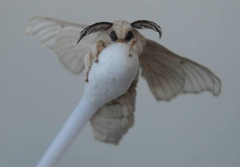 The Cutest Moth I Ve Ever Seen Venezuelan Poodle Moth Cute
