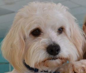 Adopt Bates On Bichon Frise Dogs Animals