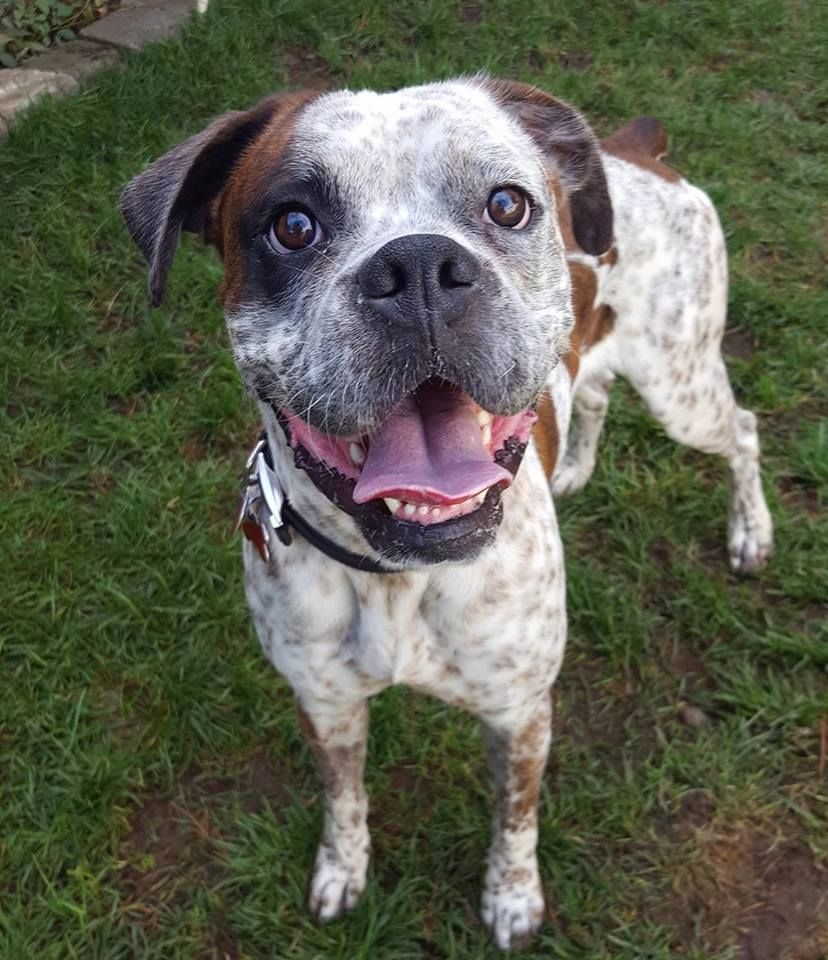 Boxer dog for Adoption in Chinook, WA. ADN699545 on
