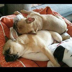 #frenchbulldogfullgrown