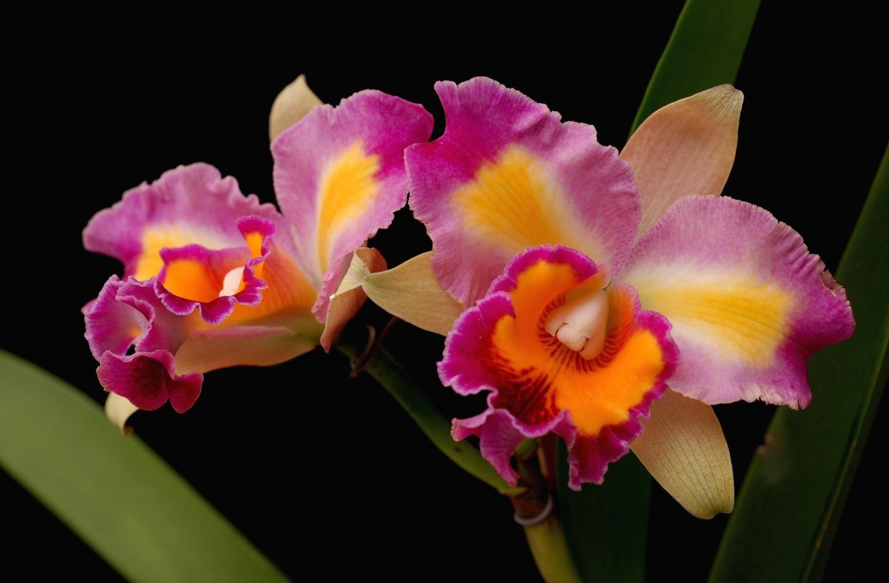 Orchids flower pesquisa google beautiful flowers pinterest