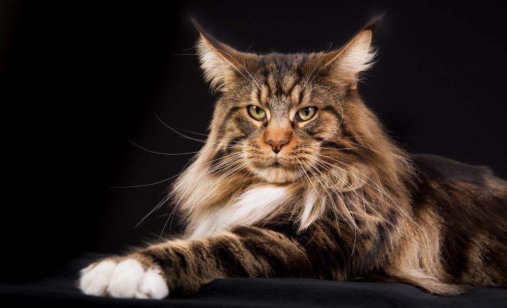 Biggest Cats 7 Largest Cat Breeds Large Cat Breeds Cat Breeds Large Cats