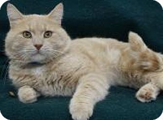 Blackwood, NJ - Domestic Shorthair. Meet Buster, a cat for adoption. http://www.adoptapet.com/pet/12127210-blackwood-new-jersey-cat