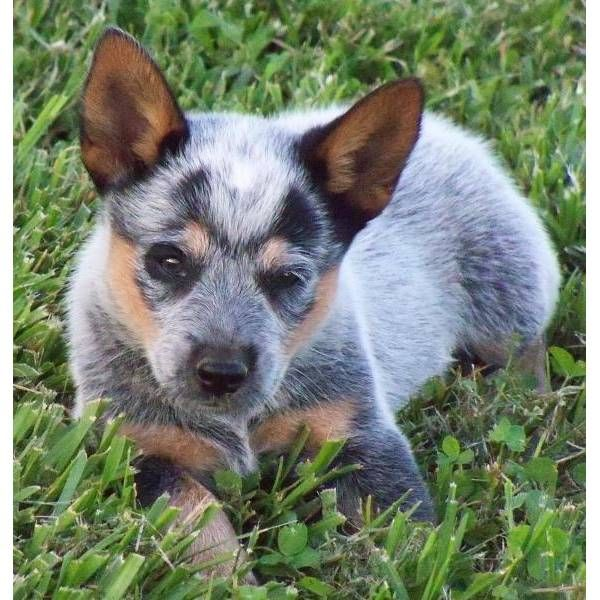 Australian Cattle Dog Blue Heeler For Sale Blue Heeler Puppies Heeler Puppies Australian Cattle Dog Blue Heeler