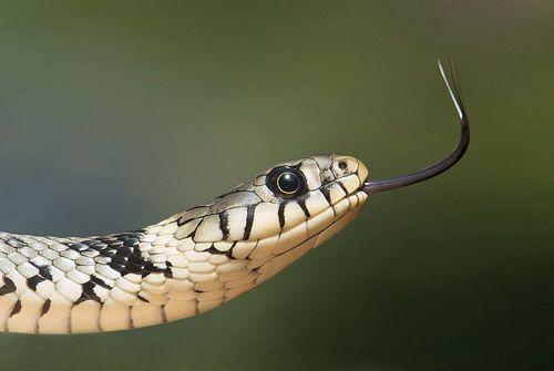 Snakes In Italy Biscia Dal Collare Natrix Natrix European Grass Snake Snake Take Better Photos Reptiles