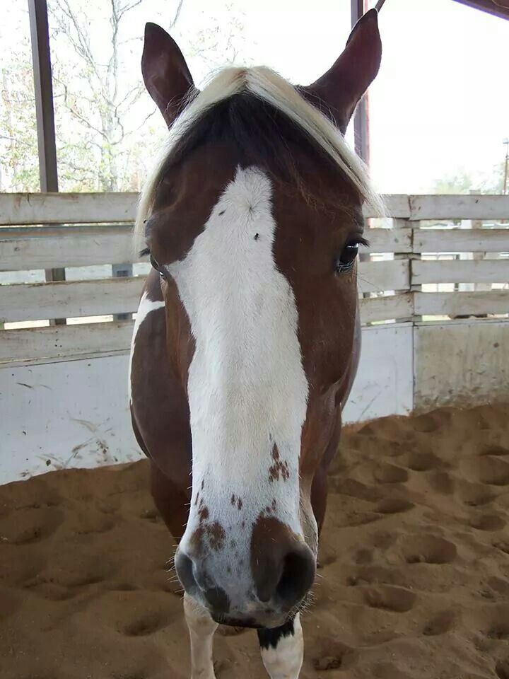 Tobiano homozygous | Horse Details - markings | Pinterest ...