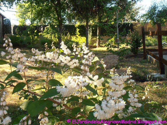 El Jardin De La Alegria Deutzia Scabra Pride Of Rochester