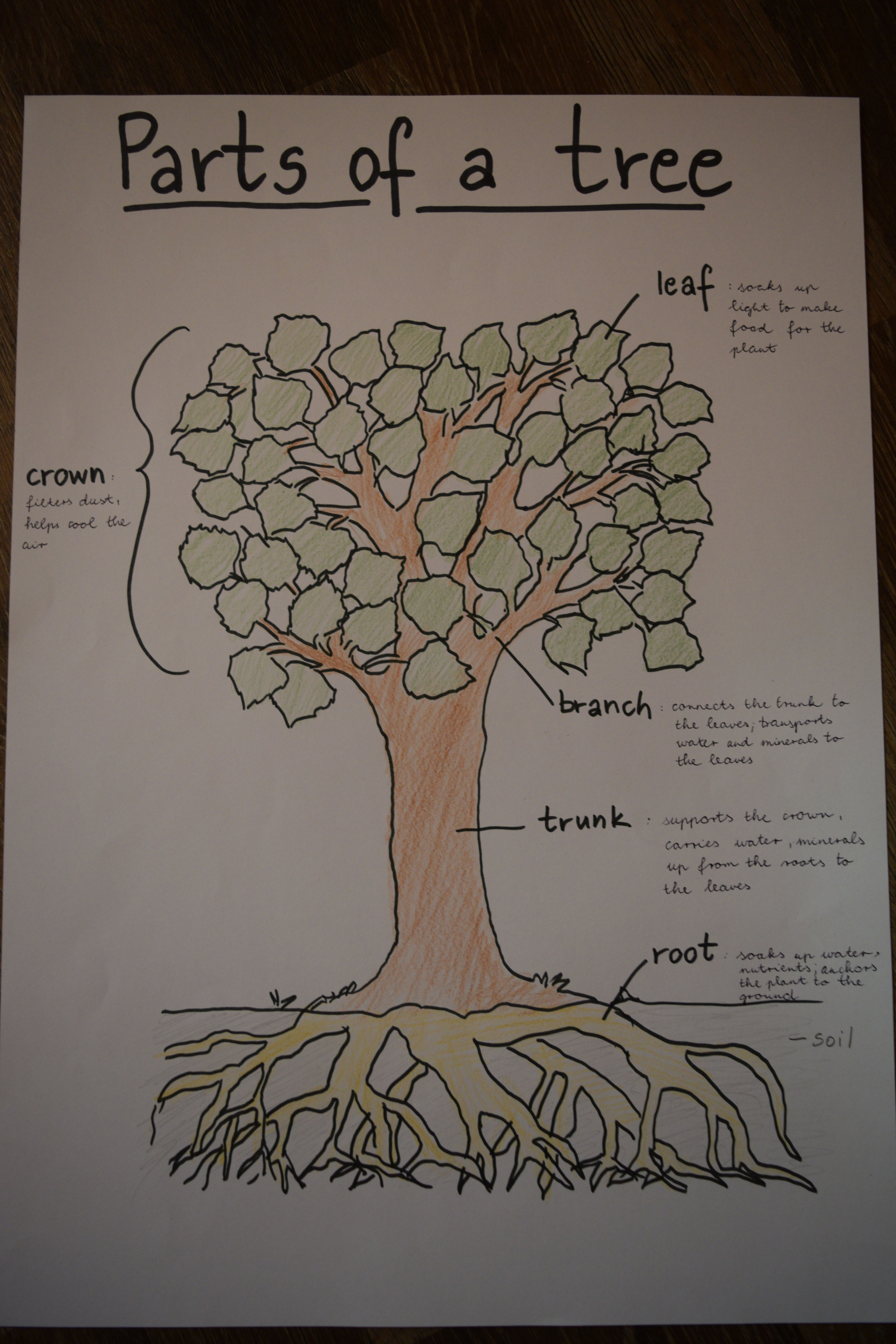 Parts Of A Tree Anchor Chart For Kids