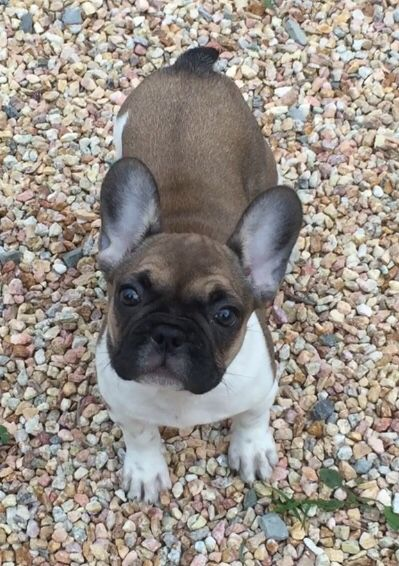 Elite French Bulldogs Holly Mae Gorgeous Red Irish Pied Puppy
