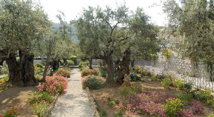 Garden Of Gethsemane Olive Trees