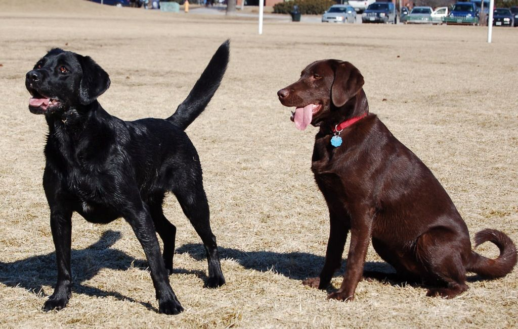 Labrador Retrievers Vary In Size From A Pedigree To Another