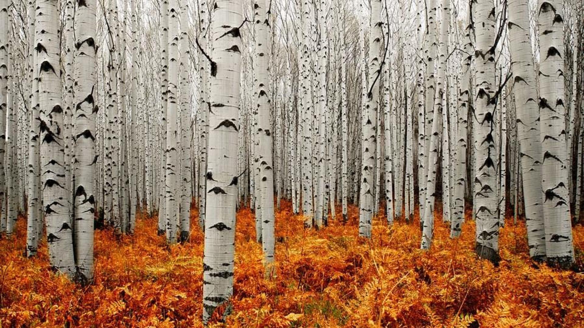 Poets Of The Fall Wallpaper Aspen Tree Wallpapers Hd Pixelstalk Net Натуральный