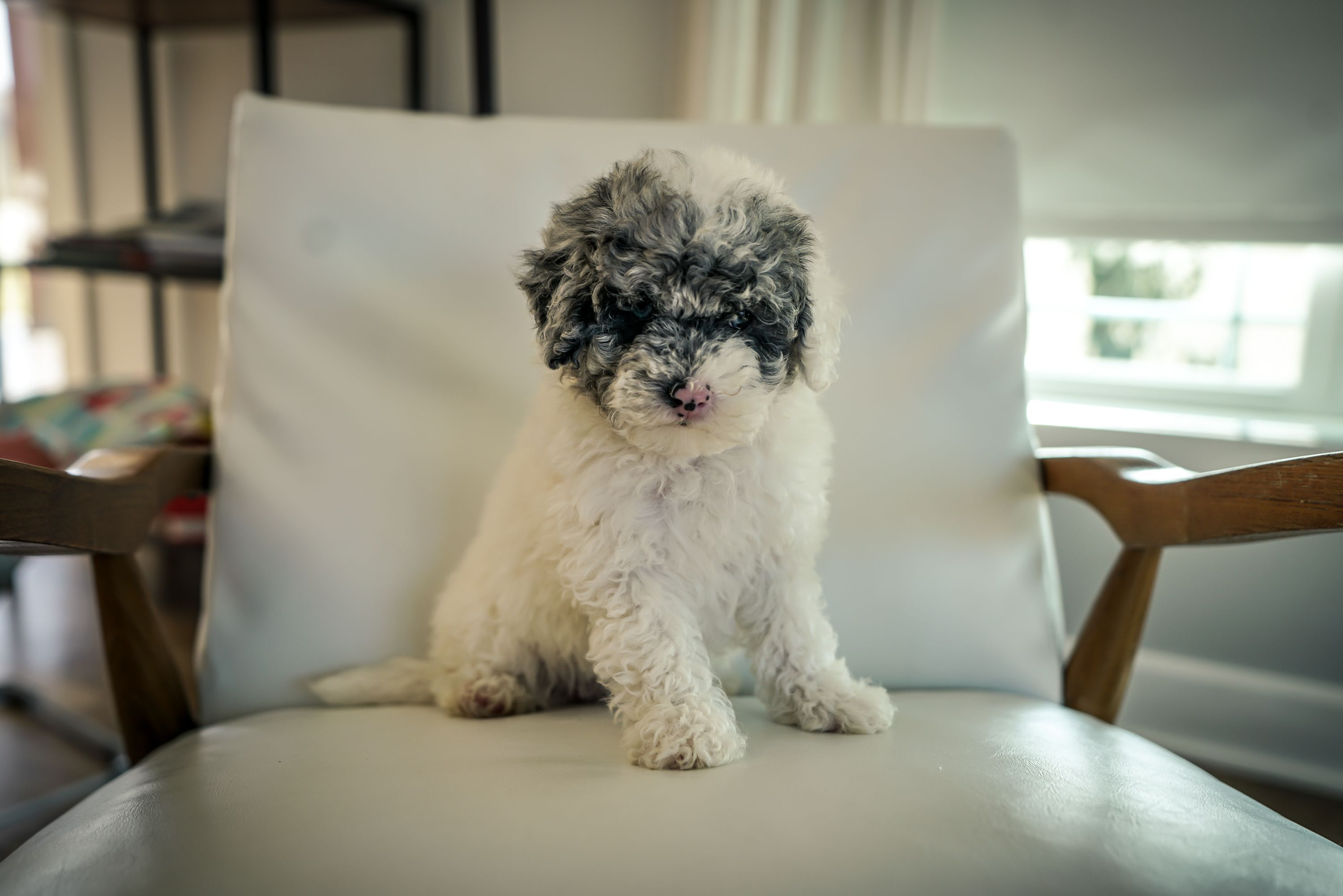 Bella Female Mini Sheepadoodle For Sale In Sugarcreek Ohio In 2020 Sheepadoodle Puppy Sheepadoodle Puppy Finder