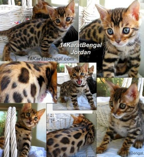 Exuberantly Loving And Affectionate Cashmere Baby Boy Gorgeous Red Colored And Well Contrasted Cottonwood Ar Bengal Kitten Bengal Cat Bengal Kittens For Sale