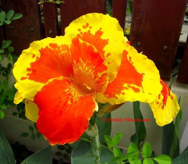 Canna Flower Thai Sunray