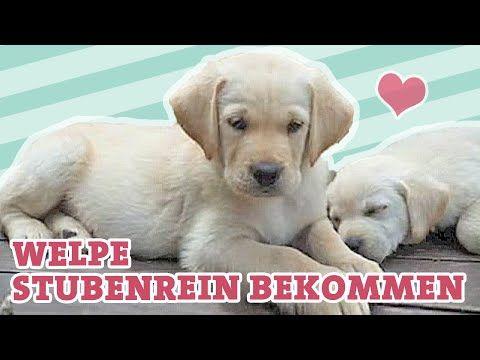Hund Sitz Beibringen Wie Bringe Ich Meinem Hund Sitz Bei Welpe Befehl Deutsch Video Labrador Youtube Welpen Hunde Welpen Erziehung Und Welpen Erziehen